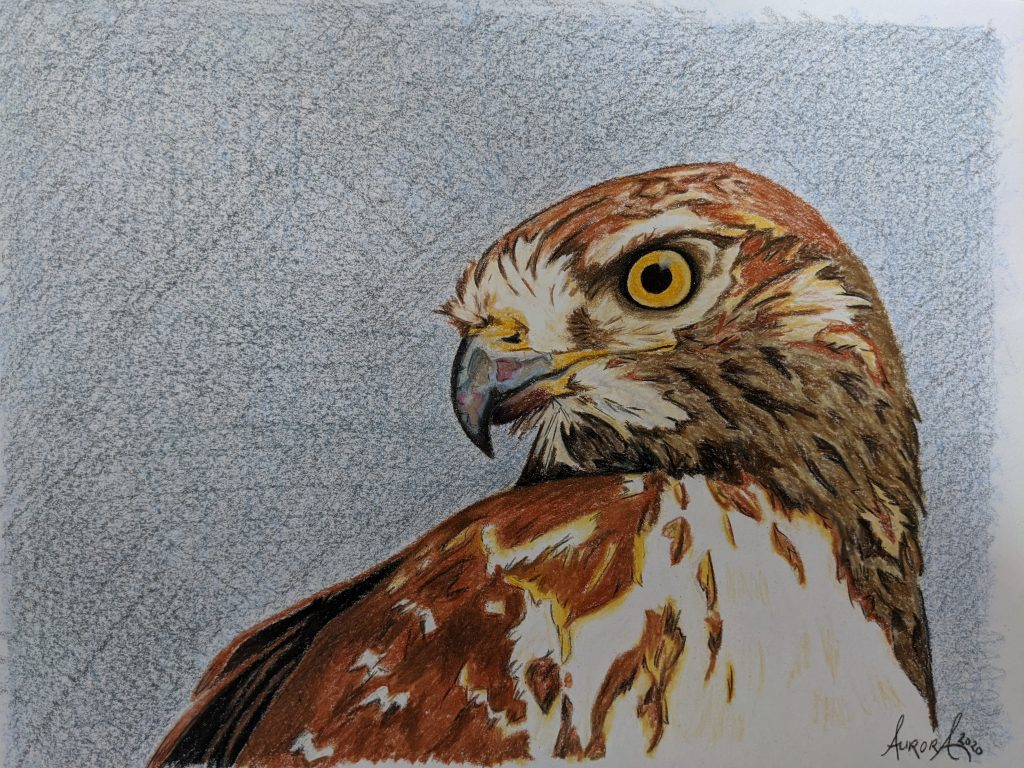 Colored pencil illustration of a Hawk by Aurora Whittet Best