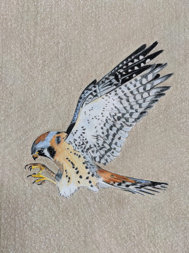 American Kestrel Illustration by Aurora Whittet Best Red Organic